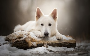 Picture look, face, snow, dog, log, The white Swiss shepherd dog