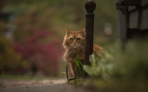 Picture cat, look, bokeh, red cat
