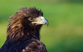 Picture bird, predator, beak, eagle