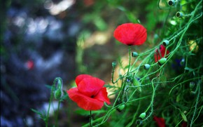 Picture Spring, Spring, Red poppies, Red poppy