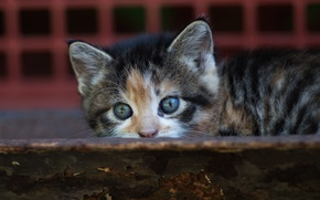 Picture cat, cat, look, kitty, background, small, baby, muzzle, hide and seek, Board, kitty, motley