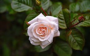 Picture pink, rose, Bush, buds
