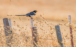 Picture summer, bird, the fence, Yellow-billed Magpie