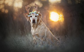 Picture grass, look, the sun, dog, horns, bokeh, Labrador Retriever