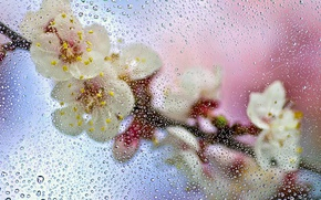Picture wet, glass, drops, macro, flowers, branch, spring