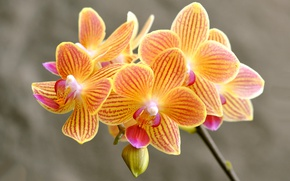 Picture petals, Orchid, inflorescence