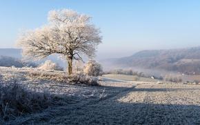 Picture winter, frost, field, tree