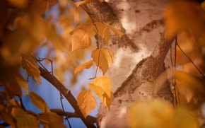Wallpaper autumn, leaves, macro, yellow, tree, foliage, color, blur, trunk, bark, birch