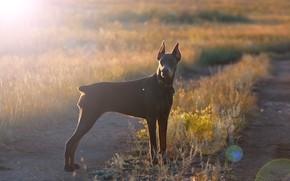 Picture the sun, glare, each, dog, Doberman