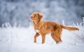 Picture winter, frost, field, look, snow, nature, pose, dog, red, muzzle, tail, cute, puppy, gold, walk, …