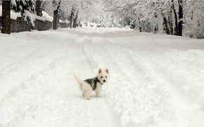 Picture Winter, Snow, Dog, Dog, Winter, Frost, Snow, The West highland white Terrier