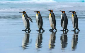 Wallpaper sea, beach, the ocean, pack, penguins, walk, Emperor penguin