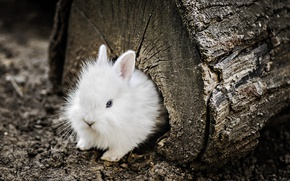 Picture wood, blue eyes, animal, trunk, fur, ears, rodent, Rabbit, muzzle, rabbit ears, burrow