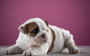 Picture background, Dog, puppy, Baby