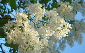 Picture spring, blue sky, white lilac