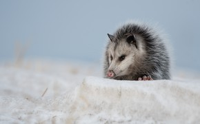 Picture snow, marsupials, Possum