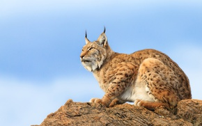 Picture cat, the sky, rocks, lynx