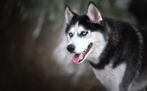Picture face, dog, bokeh, Husky