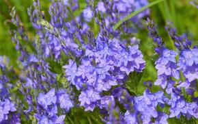 Picture Spring, Flowers, Spring, Blue flowers, Veronica austriaca