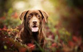 Wallpaper dog, look, portrait, bokeh, Labrador Retriever, face