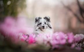 Picture flowers, each, spot, dog, sheltie, Shetland Sheepdog