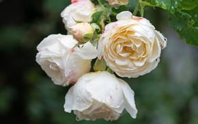 Picture leaves, rose, petals, Bud, rose, flowering, leaves, petals, blossoms, Bud