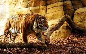 Picture nature, tiger, beautiful, predator, beauty, animal, fang, leaf, wild, konoha, dangerous, tora