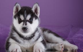 Picture cute, puppy, husky