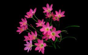 Picture background, plant, petals, Zephyranthes
