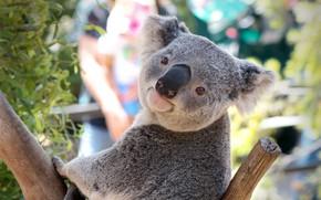 Picture tree, Australia, pose, Koala