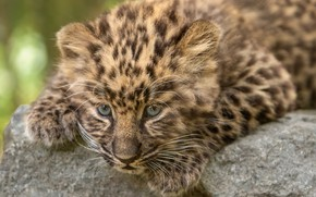 Picture leopard, cub, kitty, face