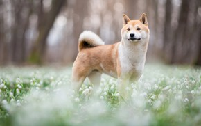 Wallpaper forest, look, face, trees, flowers, nature, Park, background, glade, dog, spring, blur, snowdrops, cute, puppy, ...