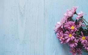 Picture purple, flowers, background, Chrysanthemum