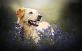 Picture flowers, dog, bokeh