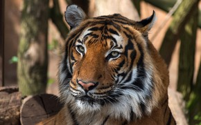 Picture cat, look, face, nature, tiger, background, portrait, wild