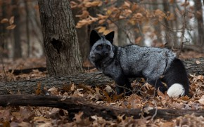 Picture autumn, forest, Fox, Silver Fox