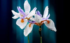 Picture drops, flowers, petals, iris
