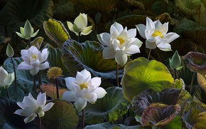 Wallpaper buds, Lotus, Lotus, leaves, white, composition, treatment, nature, art, flowers