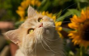 Picture cat, mustache, look, muzzle, red cat