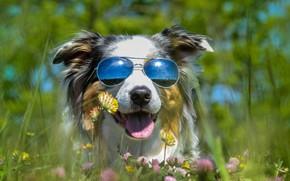 Wallpaper language, summer, stay, glade, dog, glasses, clover, bright, Sunny, solar, dark, the buzz, Australian shepherd, ...
