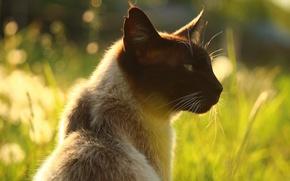 Picture cat, summer, grass, cat, face, light, nature, background, portrait, profile, ears, bokeh, Siamese, Siamese