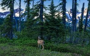 Picture forest, snow, trees, mountains, rocks, Washington, USA, Mount Rainier National Park