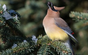 Picture winter, snow, branches, nature, background, bird, spruce, berry, bird, needles, bright plumage, crest, the Waxwing, …