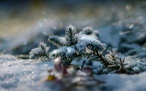 Wallpaper winter, macro, snow, spruce, branch