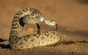 Picture language, background, snake, Texas Sidewinder