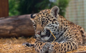 Picture cat, eyes, face, nature, pose, kitty, background, Board, portrait, paws, baby, leopard, hay, lies, straw, ...