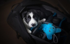 Picture look, toy, baby, puppy, bag, face, doggie, The border collie, case