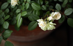 Picture leaves, roses, white roses