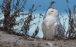 Picture sand, nature, background, blue, owl, bird, feathers, white, sitting, polar, dry grass, blade