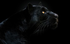 Picture look, face, Panther, black background, the dark background